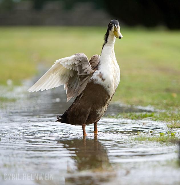 Archangel_Duck_by_Cyril_Helnwein