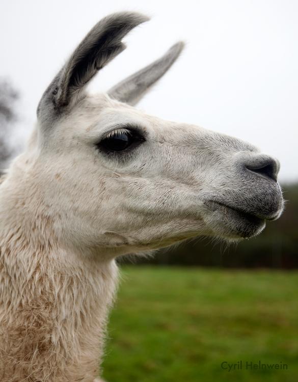llama_by_cyril_helnwein